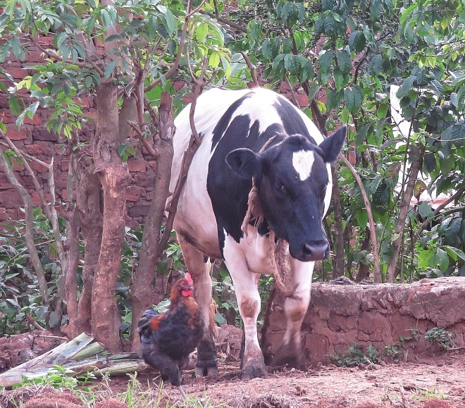 Cow and rooster 2355_Fotor